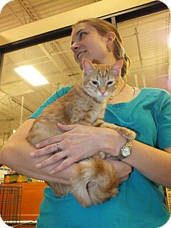 Bengal Kitten for adoption in Scottsdale, Arizona - Orange Blossom- courtesy post