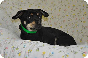 Chihuahua/Pug Mix Puppy for adoption in Tumwater, Washington - Harley