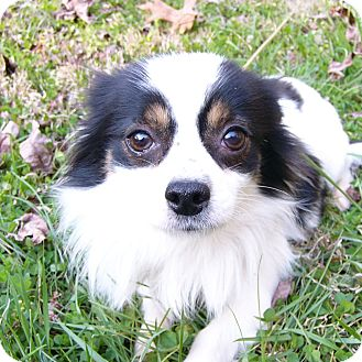 Japanese Chin/Chihuahua Mix Dog for adoption in Mocksville, North Carolina - Tango