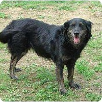Flat-Coated Retriever/Collie Mix Dog for adoption in Chattanooga, Tennessee - Thurston