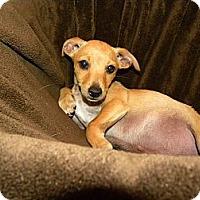 Adopt A Pet :: Starsky - Mission Viejo, CA