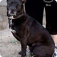 Adopt A Pet :: MISSY - Chandler, AZ