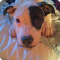 Adopt A Pet :: Indie - Encino, CA