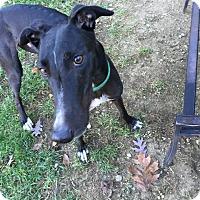 Adopt A Pet :: Flash - Swanzey, NH