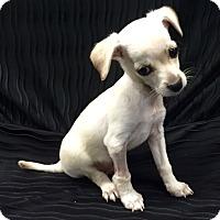 Adopt A Pet :: Bolt - Studio City, CA