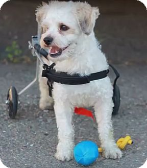 Maltese Mix Dog for adoption in El Dorado Hills, California - Abe