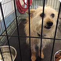 Yorkie, Yorkshire Terrier/Poodle (Miniature) Mix Dog for adoption in Belle Chasse, Louisiana - Scruffy