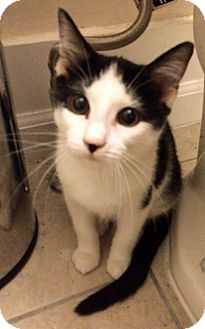 Domestic Shorthair Kitten for adoption in Troy, Michigan - York