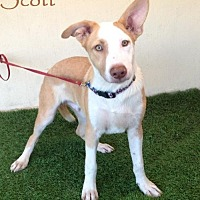 Adopt A Pet :: Scott - San Diego, CA