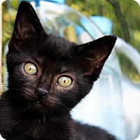 Bombay Kitten for adoption in Manhattan, Kansas - Skylar