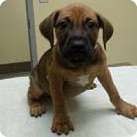 Adopt A Pet :: Candice - Potomac, MD
