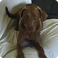 Adopt A Pet :: Brownie - Rockville, MD