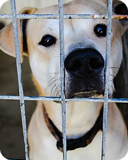 Labrador Retriever Mix Dog for adoption in Odessa, Texas - Toby