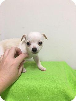 Chihuahua Mix Puppy for adoption in Baton Rouge, Louisiana - Gidget