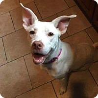Adopt A Pet :: Pearl - Uxbridge, MA