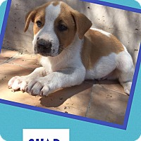 Adopt A Pet :: Chad - Scottsdale, AZ