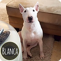 Bull Terrier Dog for adoption in Lake Worth, Florida - Blanca