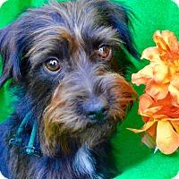 Adopt A Pet :: Dawson - Irvine, CA