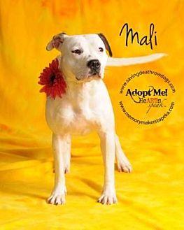 Pit Bull Terrier Mix Dog for adoption in Topeka, Kansas - Mali