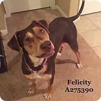 Doberman Pinscher Mix Dog for adoption in Conroe, Texas - FELICITY
