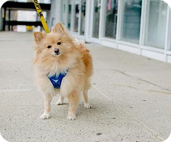 Pomeranian/American Eskimo Dog Mix Dog for adoption in Caldwell, New Jersey - Tango ~ Blonde Bachelor!