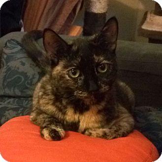 Domestic Shorthair Cat for adoption in Toronto, Ontario - Anastasia