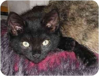 Bombay Kitten for adoption in Mission Viejo, California - Abracadabra