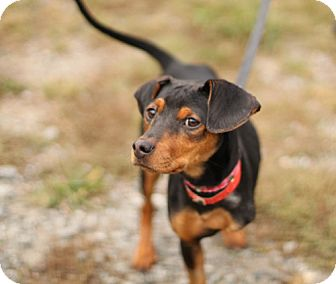 Miniature Pinscher Mix Dog for adoption in Marietta, Georgia - Lilo