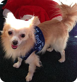 Chihuahua Mix Dog for adoption in San Diego, California - Maxwell