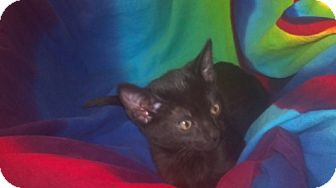 Domestic Mediumhair Kitten for adoption in Scottsdale, Arizona - Fufu- courtesy post