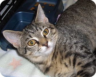 Domestic Shorthair Cat for adoption in Richmond, Virginia - Babe
