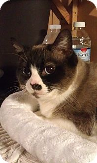 Snowshoe Cat for adoption in Cleveland, Ohio - Diamond