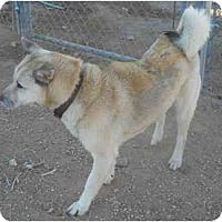 Adopt A Pet :: Teddy-Got himself a foster home! - Apple Valley, CA