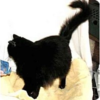 Adopt A Pet :: Midnight-FIV+ permanent foster - Scottsdale, AZ