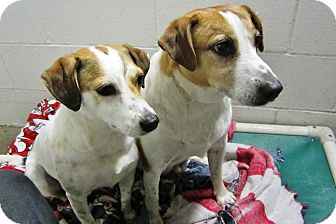 Beagle/Jack Russell Terrier Mix Dog for adoption in Beacon, New York - Russo and Petunia