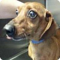 Adopt A Pet :: Bonzo Bearhug - Houston, TX