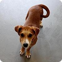 Adopt A Pet :: Sigourney - Smyrna, GA