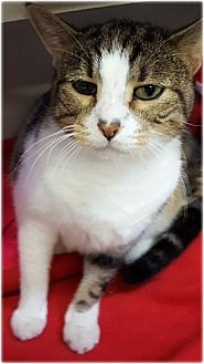 Domestic Shorthair Cat for adoption in Huntington, New York - Stanley
