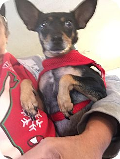 Miniature Pinscher/Manchester Terrier Mix Dog for adoption in Weatherford, Texas - Mandy