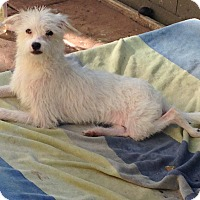 Terrier (Unknown Type, Small)/Maltese Mix Dog for adoption in San diego, California - Petey