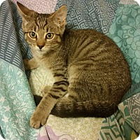 Domestic Shorthair Kitten for adoption in Columbus, Ohio - Hank