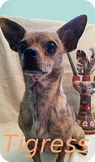 Chihuahua Mix Dog for adoption in Shreveport, Louisiana - Tigress