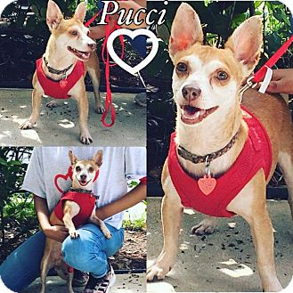 Chihuahua Mix Dog for adoption in hollywood, Florida - pucci