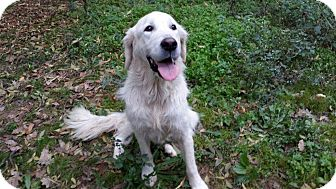 Golden Retriever Dog for adoption in Washington, D.C. - Edgar