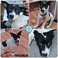 Labrador Retriever Mix Puppy for adoption in Kimberton, Pennsylvania - Wanda