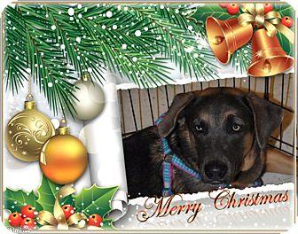 German Shepherd Dog/Husky Mix Dog for adoption in Crowley, Louisiana - Galax