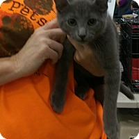 Adopt A Pet :: Gray (Name Needed) - Jerseyville, IL