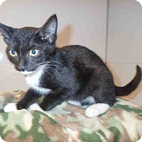Domestic Shorthair Cat for adoption in St. Cloud, Florida - Tinkerbell