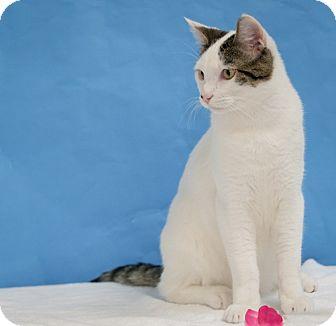 Domestic Shorthair Cat for adoption in Houston, Texas - Niles
