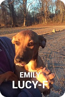German Shepherd Dog/Labrador Retriever Mix Dog for adoption in Southington, Connecticut - Emily Lucy